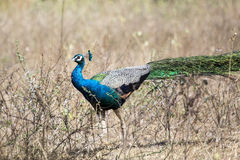 Peafowl indiano o peafowl blu (cristatus del Pavo) fotografia stock