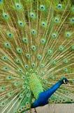 Peafowl indien image stock