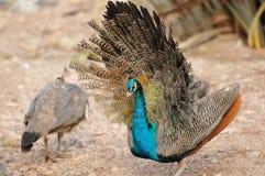 Peafowl indien Photo libre de droits
