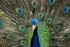 Peafowl indien (cristatus de Pavo) Photo stock