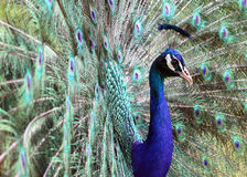 Peafowl indien (cristatus de Pavo) Photos stock