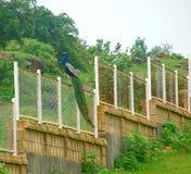 Peafowl indien masculin - paon commun - se reposant sur une barrière images libres de droits