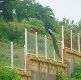 Peafowl indien masculin - paon commun - se reposant sur une barrière images stock