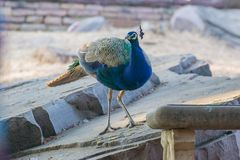 Peafowl indien ou peafowl bleu images stock