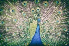 Peafowl indio - cristatus del Pavo, filtro análogo Foto de archivo libre de regalías