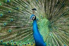 Peafowl indio hermoso Imagen de archivo libre de regalías