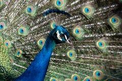 Peafowl indio hermoso - cristatus del Pavo - pájaro masculino Imagen de archivo libre de regalías