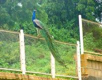 Peafowl indio masculino - pavo real común - que se sienta en una cerca fotos de archivo