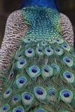 Peafowl indio/Peafowl azul/Pavo Cristatus foto de archivo libre de regalías