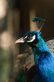 Peafowl at the lawn Stock Image