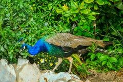 Peafowl på en gräsplan Royaltyfria Bilder