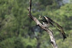 Peafowl in panierenden featurespread Flügeln auf Stumpf Lizenzfreie Stockbilder