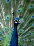 Peafowl - Pauw Stock Fotografie