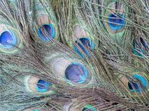Peafowl of pauwvogel Stock Fotografie