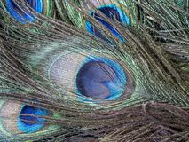 Peafowl of pauwvogel Stock Afbeelding