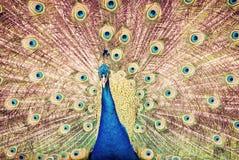 peafowl pavo cristatus индийский стоковая фотография