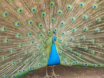 Peafowl (Pavo cristatus Stock Photos