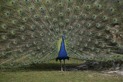 Peafowl, Pavo cristatus Stock Photography