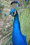 Peafowl/pavo real Fotos de archivo libres de regalías