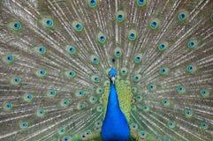 Peafowl/pavo real Foto de archivo libre de regalías