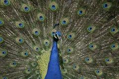 Peafowl Pavocristatus Arkivfoto