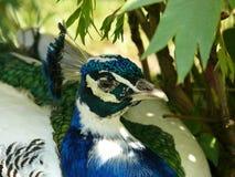 Peafowl (Pavocristatus L ) - detalj av huvudet Arkivfoto