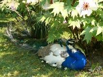 Peafowl (Pavocristatus L ) - manligt ligga under en blomningbuske Royaltyfria Foton