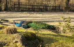 Peafowl (paw) Obraz Royalty Free