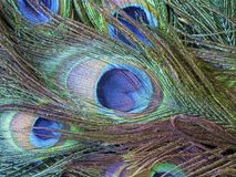 Peafowl or peacock bird. Peafowl include three species of birds in the genera Pavo and Afropavo of the Phasianidae family, the pheasants and their allies Stock Image