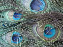 Peafowl or peacock bird. Peafowl include three species of birds in the genera Pavo and Afropavo of the Phasianidae family, the pheasants and their allies Stock Photos