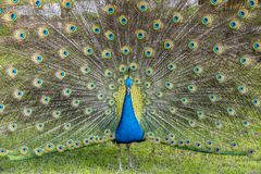 Peafowl or peacock bird. Peafowl include three species of birds in the genera Pavo and Afropavo of the Phasianidae family, the pheasants and their allies Stock Photography
