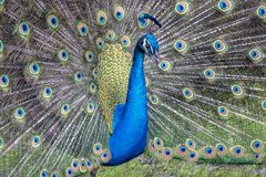 Peafowl or peacock bird. Peafowl include three species of birds in the genera Pavo and Afropavo of the Phasianidae family, the pheasants and their allies Stock Photo
