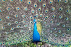 Peafowl or peacock bird. Peafowl include three species of birds in the genera Pavo and Afropavo of the Phasianidae family, the pheasants and their allies Stock Images