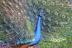 Peafowl or peacock bird. Peafowl include three species of birds in the genera Pavo and Afropavo of the Phasianidae family, the pheasants and their allies Royalty Free Stock Photos