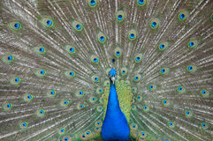Peafowl / Peacock Royalty Free Stock Photo