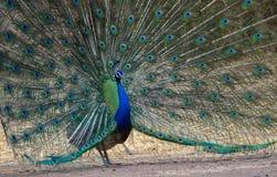 Peafowl (Peacock) is dancing stock image