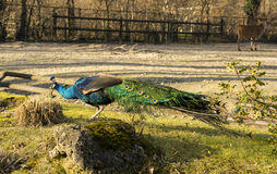 Peafowl (Peacock) Royalty Free Stock Image