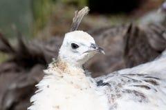 Peafowl Royalty Free Stock Photos