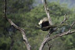 Peafowl que vuela para stump en naturaleza Imagen de archivo