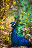 Peafowl resting in the shade of bushes Royalty Free Stock Photo