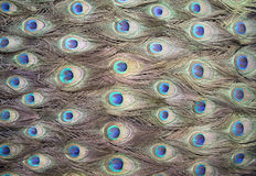 Peafowl spot Royalty Free Stock Photography