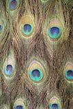 Peafowl spot Royalty Free Stock Photos