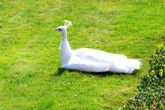 Peafowl. Valdstain's garden in capital city of Czech Republic Royalty Free Stock Photos