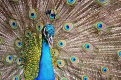 Peafowl verde Imagen de archivo