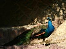 Peafowl verde Fotografia Stock Libera da Diritti