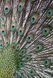 Peafowl verde imagem de stock