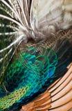 Peafowl verde foto de stock royalty free