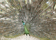 Peafowl verde bonito com cauda colorida Foto de Stock Royalty Free