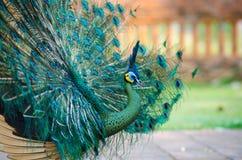 Peafowl verde de Tailandia Fotografía de archivo