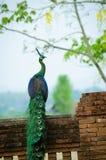 Peafowl verde de Tailandia Fotos de archivo